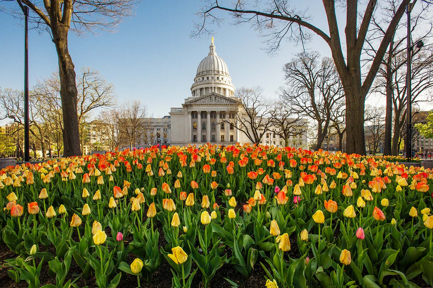 Tulips blooming in sprig near the Wisconsin State Capitol on the sqare in Madison, Wisconsin.